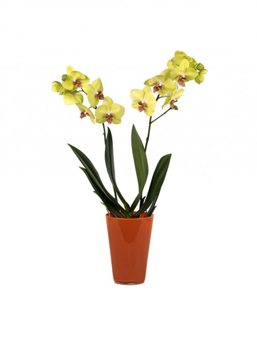 Orchidea gialla