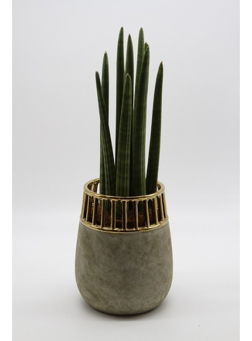 Sansevieria  gold marble