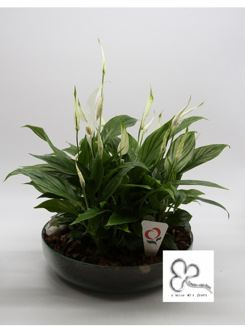 Spathiphyllum in the glass