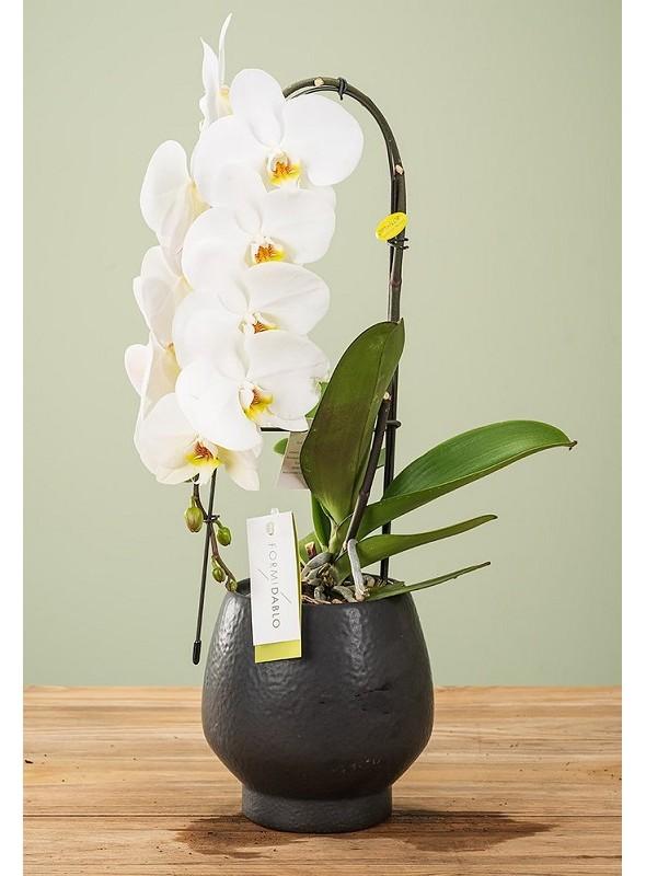 Orchidea Formidablo