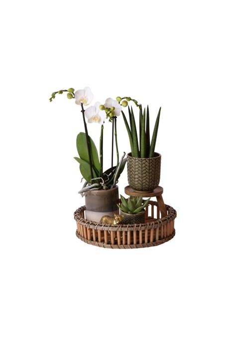 Arrangementen flowering houseplants gift set