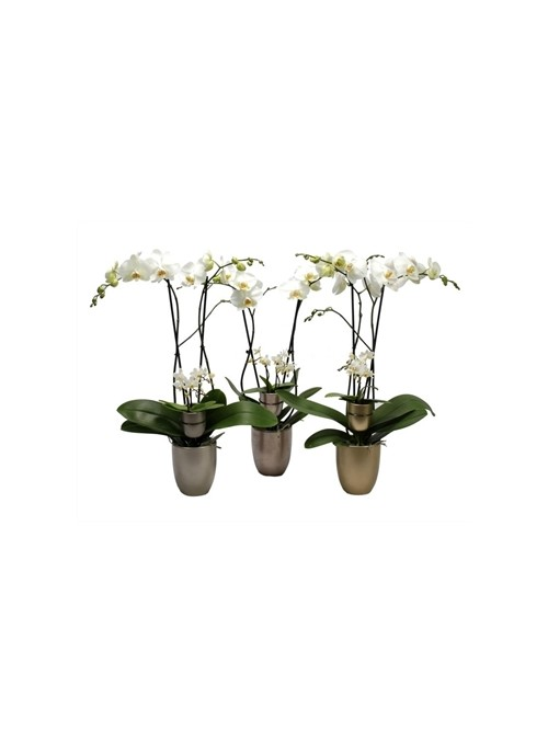 Phalaenopsis other white Hugo