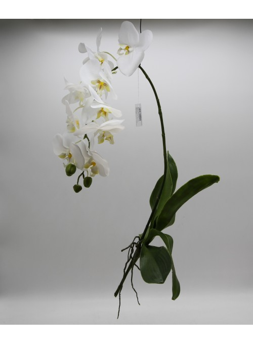 ORCHIDEA PHAL REAL BIANCA CON FOGLIE