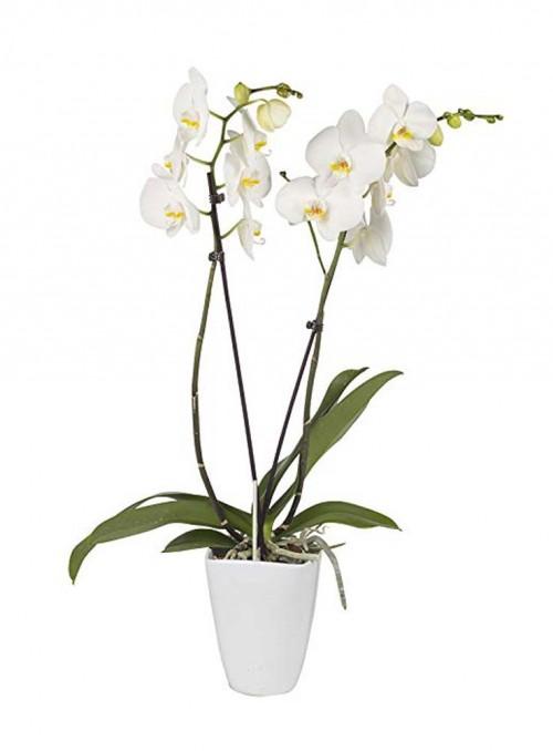 Phalaenopsis bianco con vaso