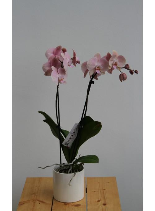 Phalenopsis in vaso