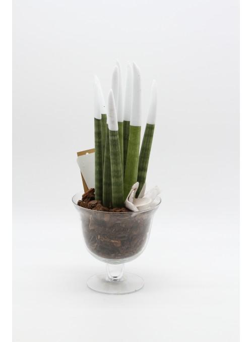 Sansevieria white velvet