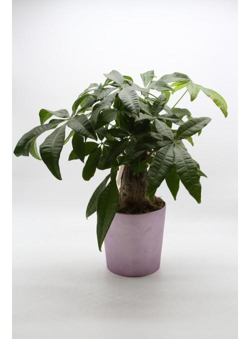Pakira bonsai