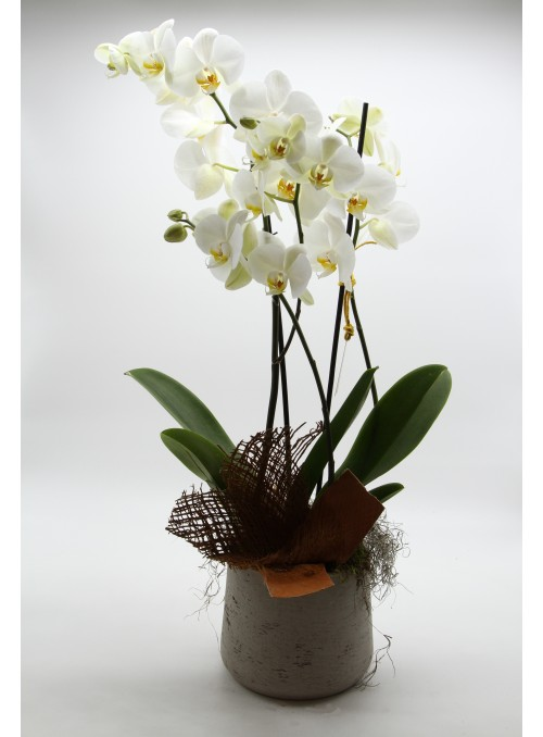 Candore orchid