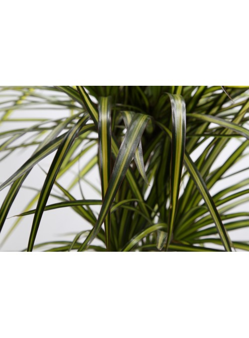 Dracena marginata variegata