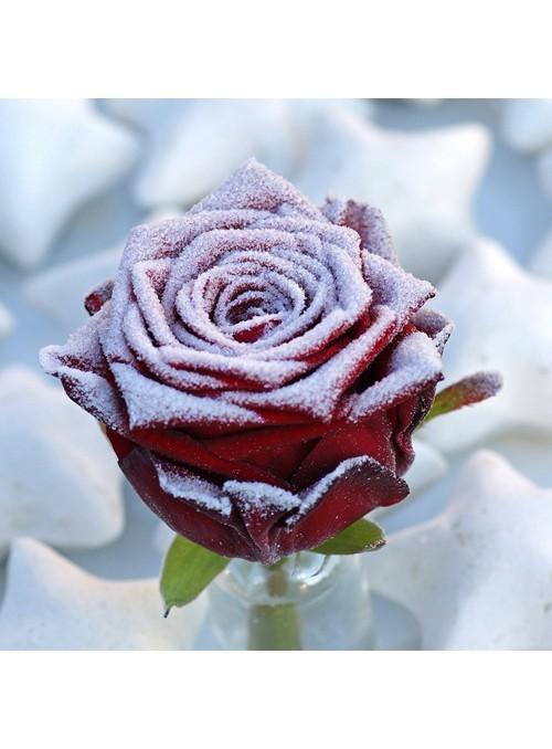 rosa innevata