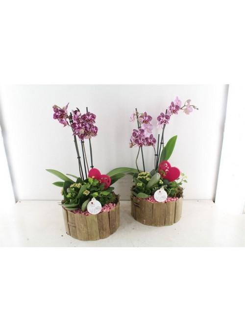 Garden Orchidea