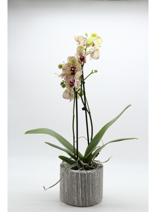 box orchidea