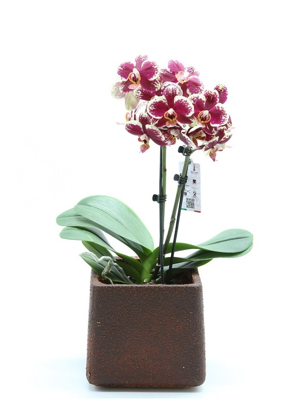 Faience orchidea