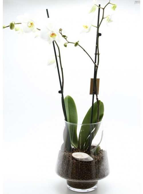 Jar Glass orchidea